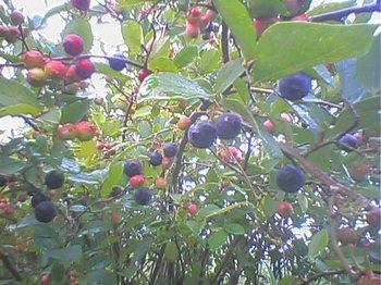 Blueberry060813_1