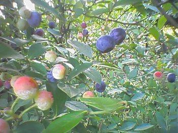 Blueberry0831k_1